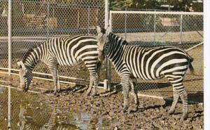 Canada Calgary Grant's Zebras Grant & Gerda The Calgary Zoo