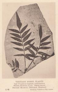Leaf of Soapberry Sapindus Stellariafolius Plant Fossil Antique Postcard