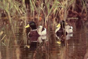 Canard Malard - Mallard Duck in Canada