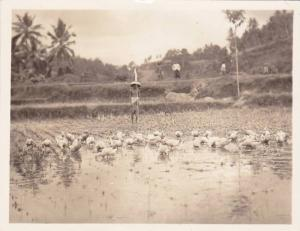 RP; Ducks in rice field, 10-20s