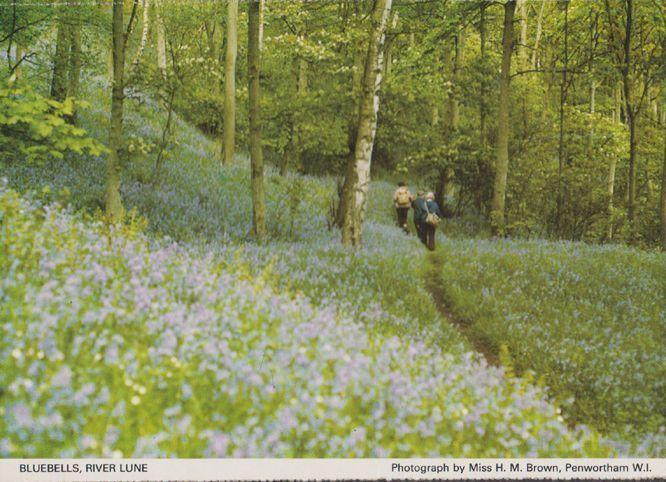 Bluebells Flowers at Oakland Hertfordshire Womens Institute Postcard