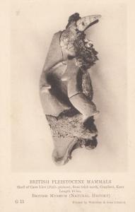 Skull Of Cave Lion Found at Crayford Kent British Museum Antique Postcard