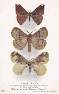 Drepanojana Apicalis Camerunia Plagiata Monotypic Ghana Exotic Moths Postcard