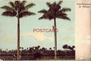 pre-1907 CUBA. PLANTACION DE PALMAS men climbing palm trees
