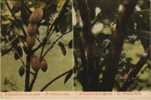 PC CPA PANAMA, COCOA TREE IN BLOOM, DR. PRIMA'S FARM, Vintage Postcard (b26293)