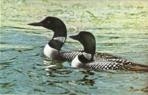 Animal. The Loon. M;innesota's State Bird Very nice vintage ...
