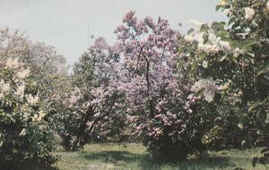 Highland Park Lilacs NY, Rochester, New York