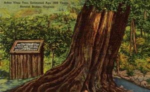 VA - Natural Bridge. Ancient Arbor Vitae Tree