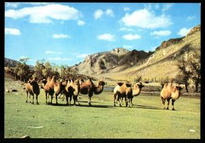 MONGOLIAN CAMELS in the grazing field MONGOLIA Real Photo MNR Postcard