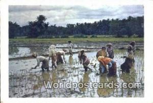 Malaysia, Malaya  Planting Rice