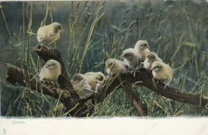 TUCK # 1415; Animal Life, 1900-10s; Chicks