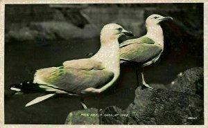 Mr and Mrs C. Gull St Ives Birds Postcard