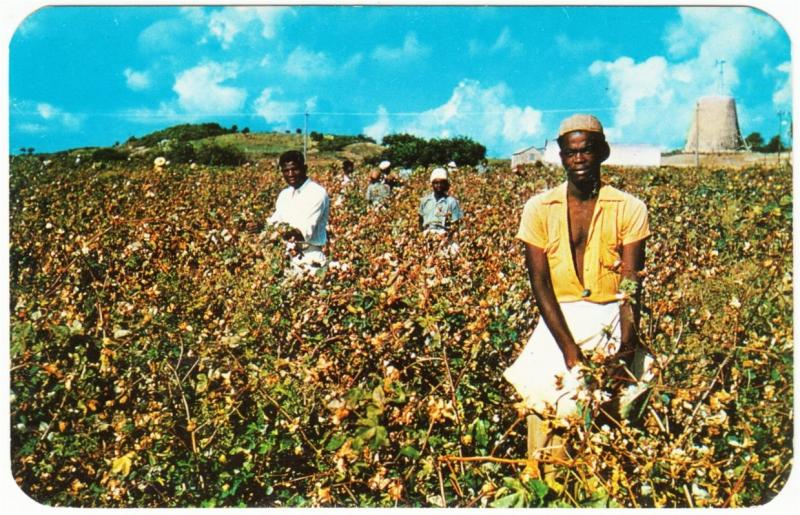 Antigua BWI Picking Cotton in a Field Workers 1950s Postcard Caribbean
