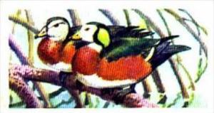 Brooke Bond Trade Card Tropical Birds No 7 African Pygmy Goose