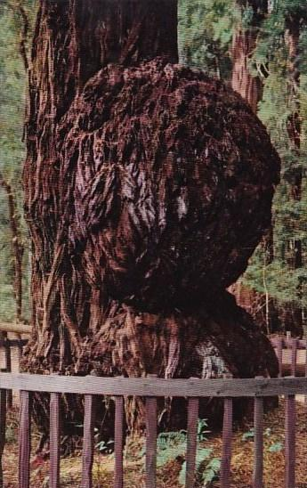 California Santa Cruz County Giant Burl Big Trees Park