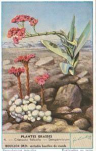 Liebig S1625 Cacti II No 4 Crassula falcata & Sempervivum