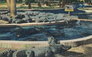 USA Florida Alligators A'Plenty 06.32