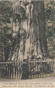 CALIFORNIA , 1900-10s ; Redwood Tree at BIG TREE Station Nr Santa Cruz