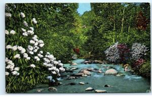 *Mountain Laurel Great Smoky Mountains National Park LeConte Creek Postcard B70