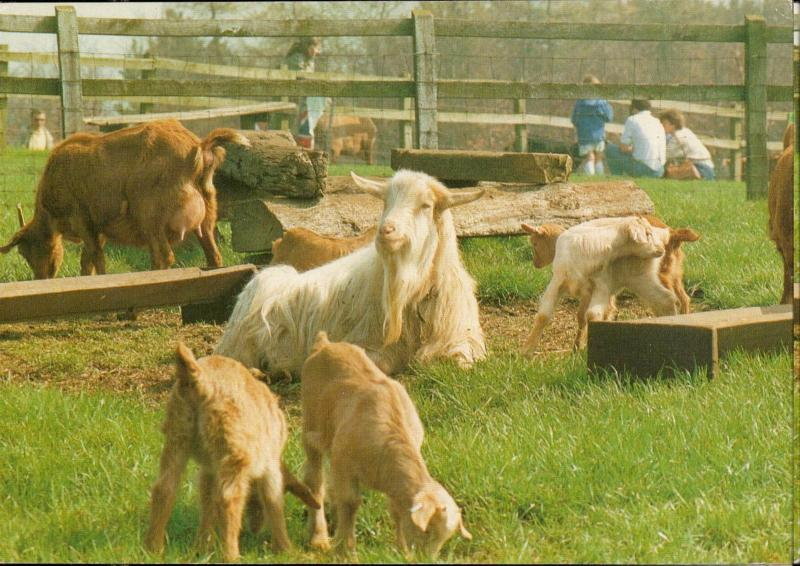 Olden Guernesey Goats animal topic