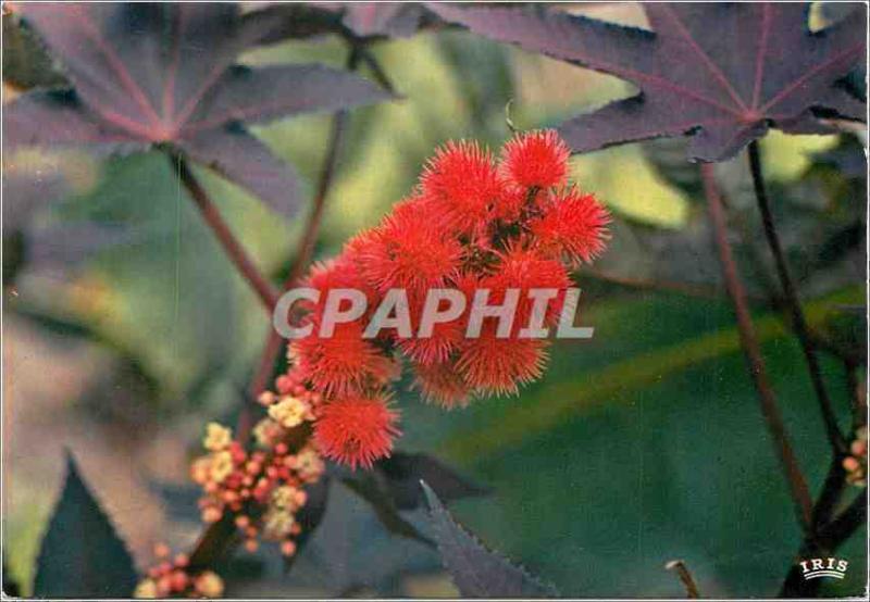 Cpm Martinique Fleurs Des Antilles Ricin Rouge Hippostcard