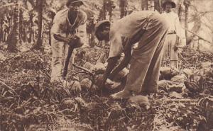 Trinidad Natives Husking Coconuts