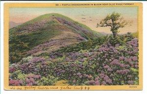 Blue Ridge Parkway, NC - Purple Rhododendron in Bloom - 1954