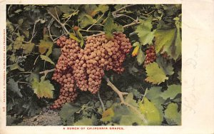 A Bunch of California Grapes  Postcard Unused