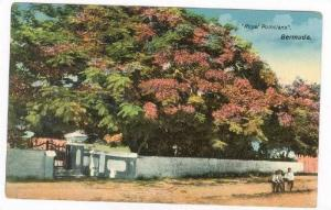 Royal Poinciana  Tree, Bermuda, 00-10s