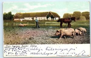 The Mother Tongue of Sweden Farmer Plowing Field Pigs Antique 1904 Postcard A48