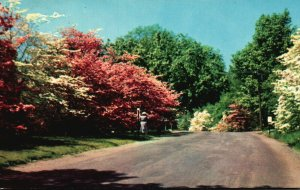 Flowering Dogwood Trees along Connecticut Road, CT, 1955 Chrome Postcard g9394
