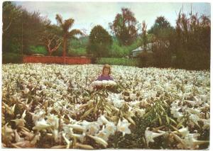 Bermuda, Bermudes, Champ de lys, Field of Lilies, 1963 used Postcard