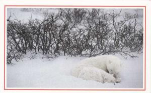 Polar Bears sleeping near Hudson Bay, Canada - Ad - Promo
