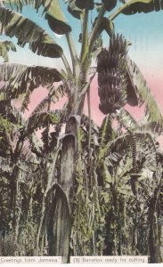 JAMAICA, 1900-10s; Greetings, Bananas ready for cutting