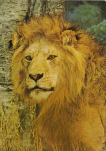 African Lion Akeley Hall Of African Animals American Museum Of Natural Hiosto...