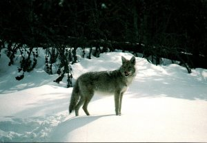 Yellowstone National Park Coyote In Winter