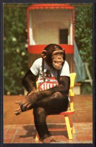 Dressed Chimpanzees,Monkey Jungle,FL