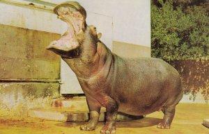 Hippopotamuses , 50-60s #4