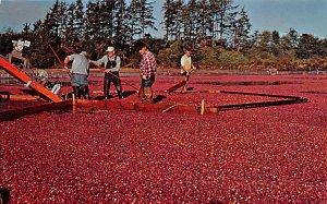 Cranberries, Cranberry Post Card Cranberry Harvest Long Beach, Washington, US...
