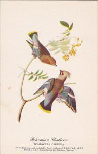 Bohemian Chatterer Drawn By John J Audubon