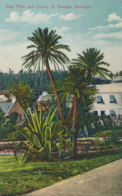 Date Palm and Cactus at St Georges, Bermuda - DB