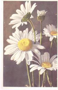 Ox-eyed Daisy (Chrysanthemum Leucanthemumm)