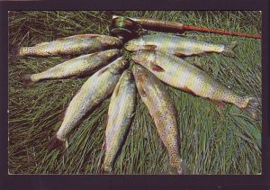 P1599 vintage fishing trout greetings from wildeness retreat sault ste marie