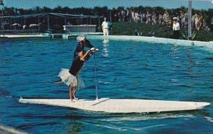 Florida Marineland Trained Dog Rides Surfboard Pulled By Porpise At Marinelan...