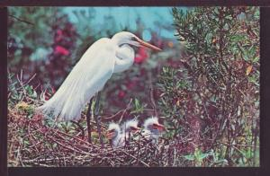 American Egret Post Card 3738
