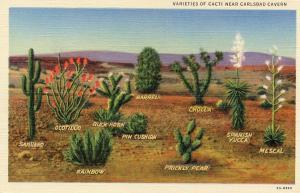NM - Carlsbad Cavern. Varieties of Cacti