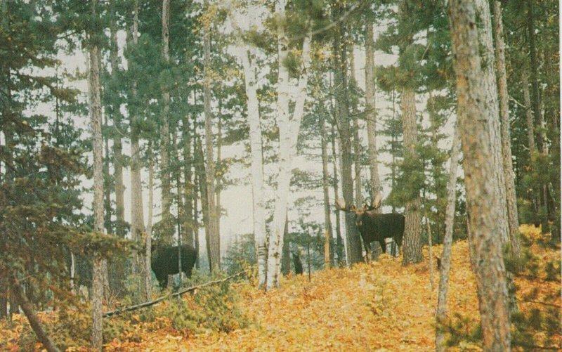 KENORA , Ontario , 1950-60s ; Moose in woods