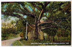 Tom Cringles Cotton Tree, Jamaica