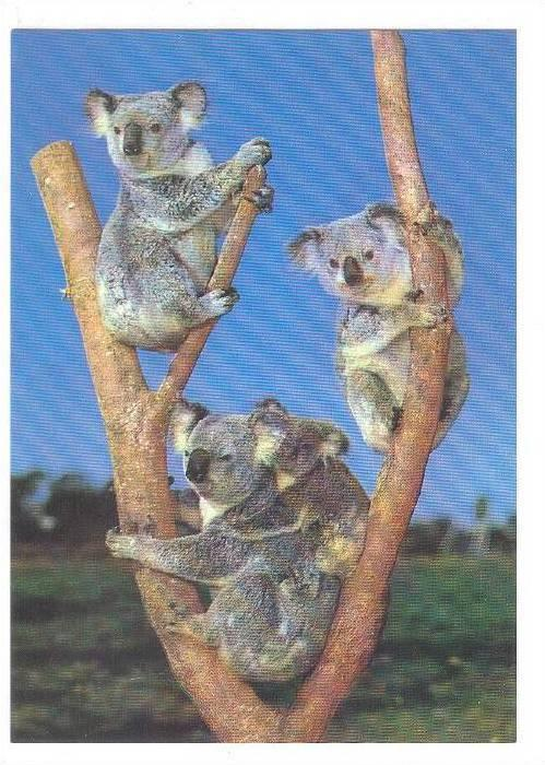 Koala family 'hanging around' from Australia, 50-70s