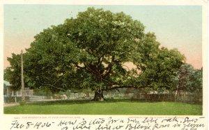Mammoth Oak Tree at Pass Christian, Mississippi